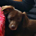 PEMF Omnium1 Mat Pets Love PEMF Dog Sage